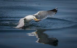 чайка поймала рыбу на море